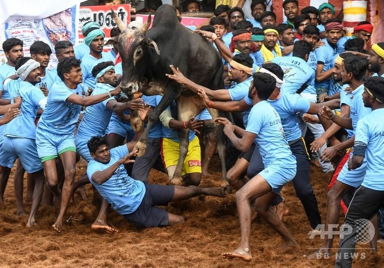 インド南部タミルナド州で行われた牛追い祭り「ジャリカット」で、暴れる牛に立ち向かう参加者(2019年1月16日撮影)。(c)ARUN SANKAR / AFP