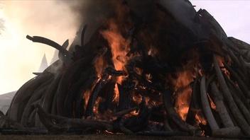 動画:高さ3メートル重量15トンの象牙の山を焼却処分、ケニア