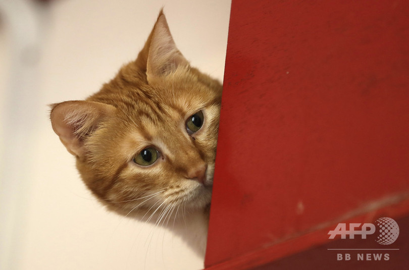 レバノンの首都ベイルートにある保護施設で暮らす猫(2018年8月3日撮影)。(c)AFP PHOTO / JOSEPH EID