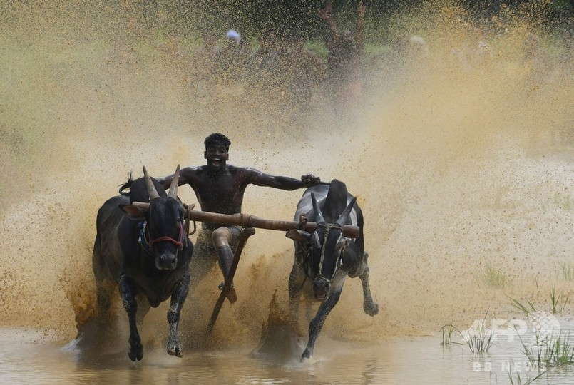 インド・パラカッド近郊の村で開催された牛レース「カーラプット」(2019年9月12日撮影)。(c)Arun SANKAR / AFP