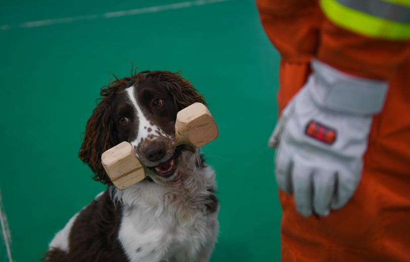 訓練士との親近感を高める訓練をする災害救助犬(2019年11月12日撮影)。(c)Xinhua News