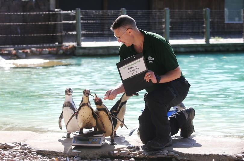英ロンドン動物園で行われた身体測定で、体重計に乗るフンボルトペンギン(2019年8月22日撮影)。(c)Isabel INFANTES / AFP