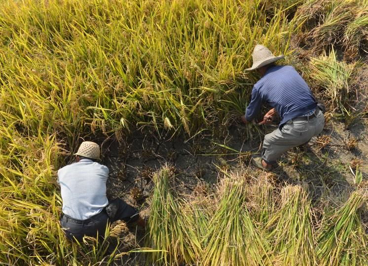 紫鵲界棚田で稲刈りをする地元農家(2019年10月4日撮影)。(c)Xinhua News