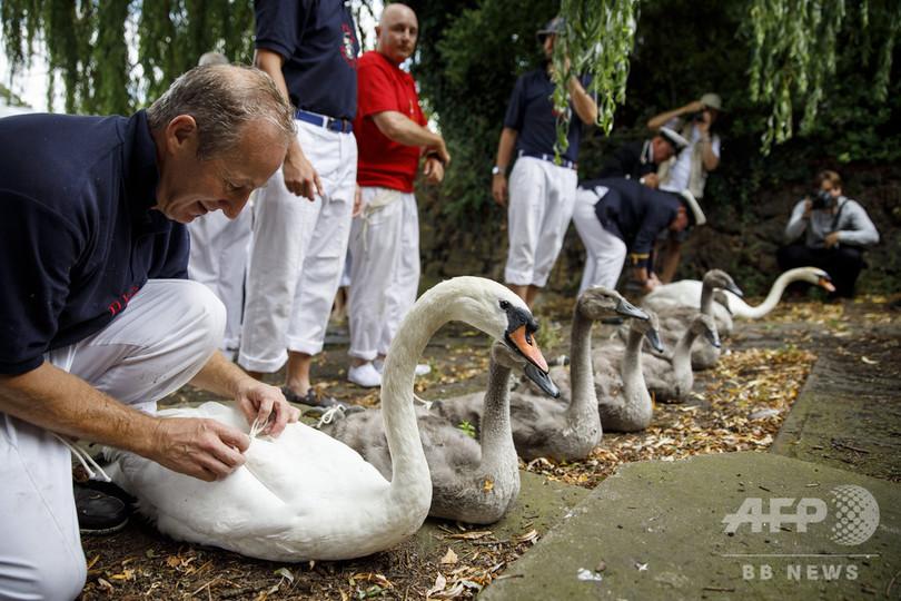 英ロンドン西郊ステーンズを流れるテムズ川で実施された「白鳥調べ」(2019年7月15日撮影)。(c)Tolga Akmen / AFP