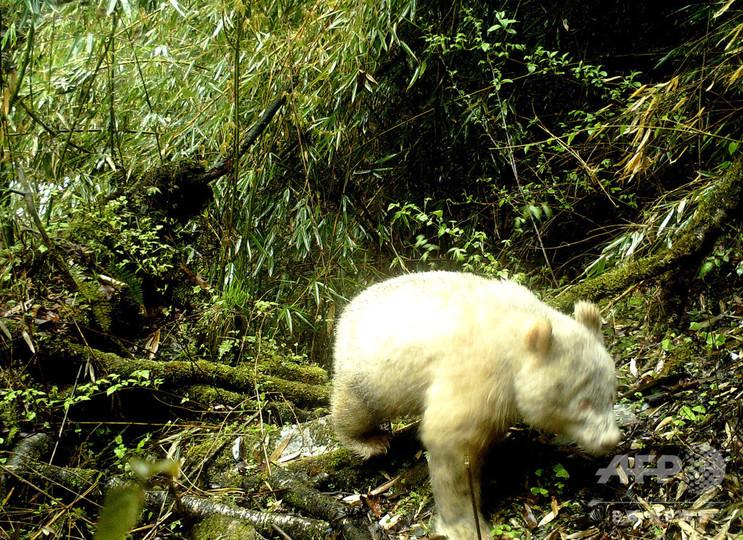 中国・四川省で発見されたアルビノのパンダ。臥龍パンダ保護研究センター提供(2019年4月20日撮影、2019年5月26日提供)。(c)AFP/Wolong National Nature Reserve