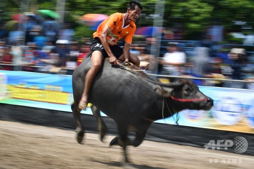 タイ・チョンブリで行われた水牛レース(2019年10月12日撮影)。(c)Lillian SUWANRUMPHA / AFP