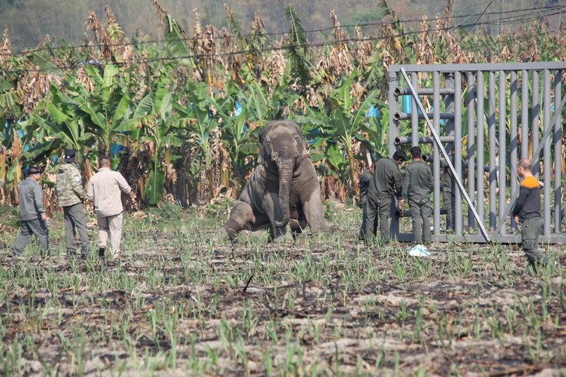 覚醒後、立ち上がろうとする野生ゾウ(2019年4月5日撮影)。(c)Xinhua News
