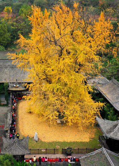 陝西省西安市羅漢洞村の古観音禅寺にそびえ立つイチョウの大木(2019年11月11日撮影)。(c)Xinhua News