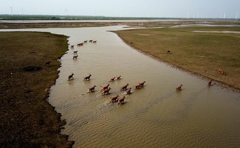 江蘇省塩城市大豊麋鹿国家級自然保護区の浅瀬を渡るシフゾウの群れ(2019年6月28日撮影、小型無人機から)。(c)Xinhua News